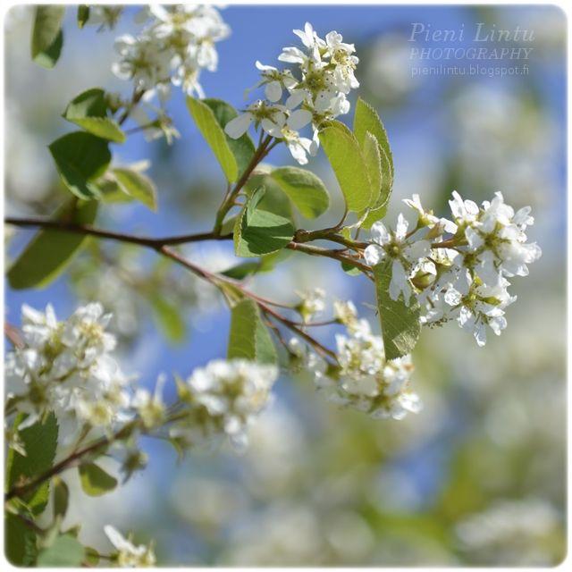 http://pienilintu.blogspot.fi/2013/06/collection-of-white-flowers.html