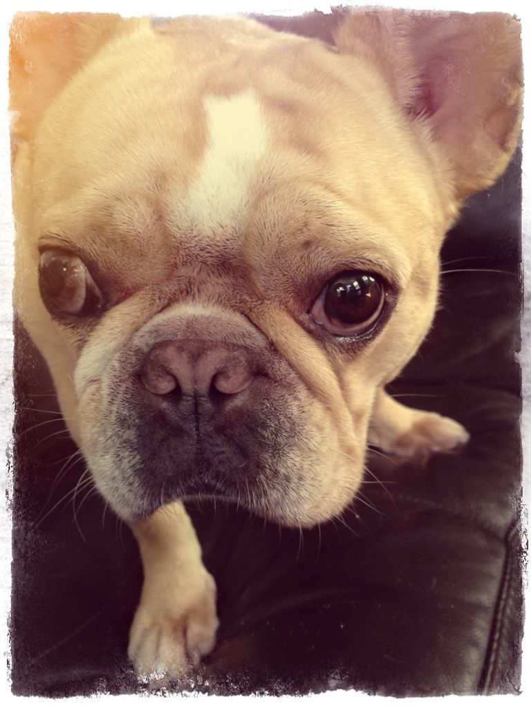 Ellie belly french bulldog bulldog french bulldog pup