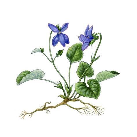 Heath Violet Viola Canina Giclee Print Giglioli E Art Com Flower Art Painting Flower Drawing Violet Flower Tattoos