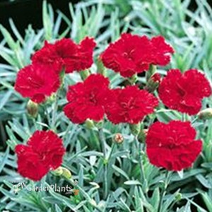 Hardy Dianthus Is One Of The Best Perennials For Our Area