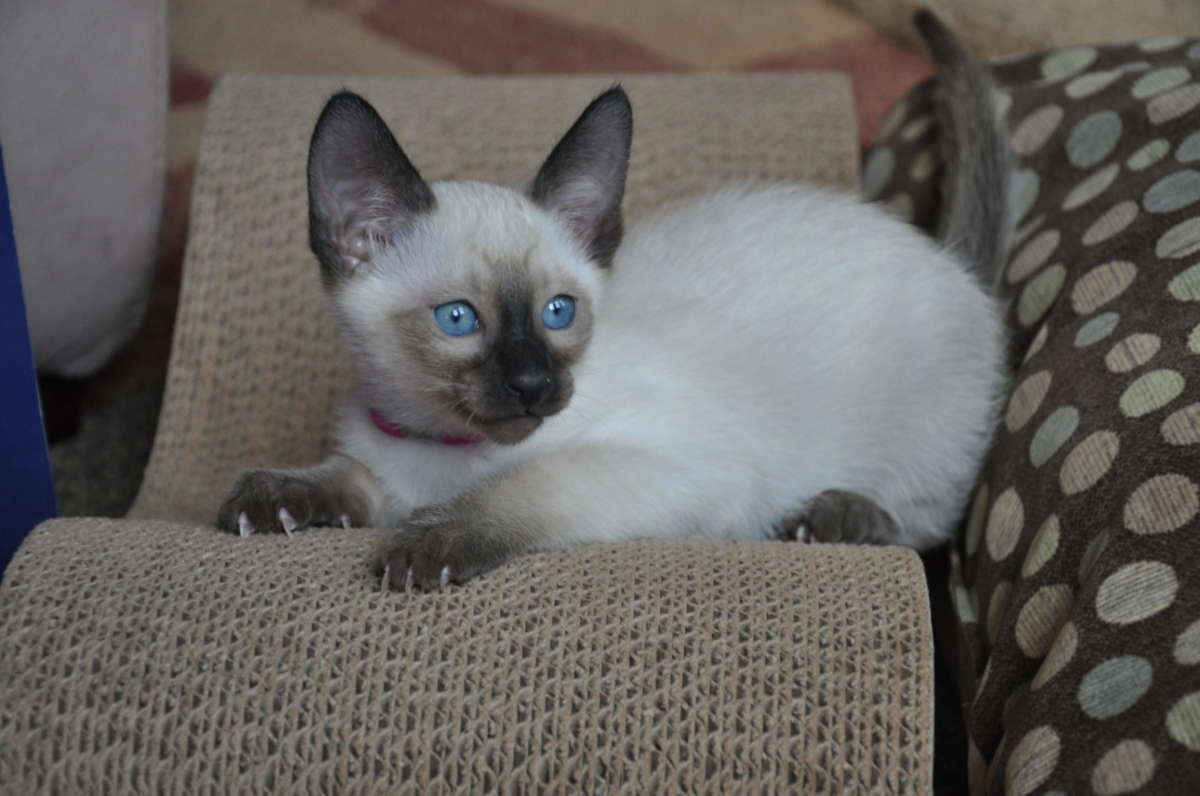 Seal Point Siamese Kittens For Sale in Richmond, Virginia - Hoobly ...