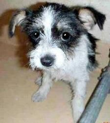 Adopt Shampoo On Dog Names Yorkie Terrier Mix Yorkie Chihuahua Mix
