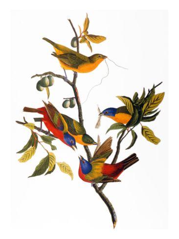 bdb2d6f7b3c Audubon  Bunting