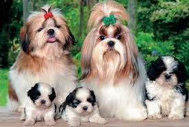 Shih Tuz Dog And Puppy For Sale In Hyderabad With Low Price We