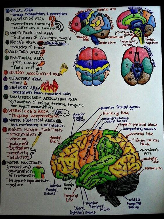 Brain Structure Function Anatphys Pinterest Brain Structure