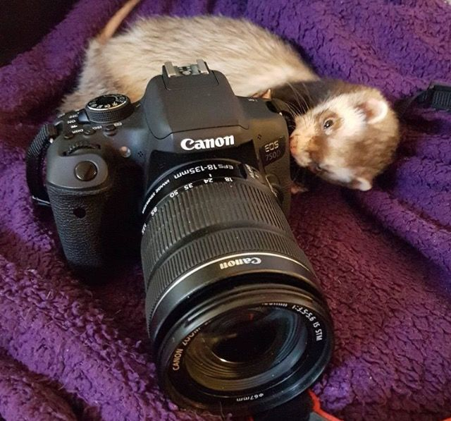 Pin By Dawn Fifer On For The Love Of Ferrets With Images Cute Ferrets Cute Animals Ferret