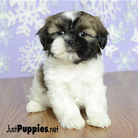 Puppies For Sale Orlando Fl Justpuppies Net Animals