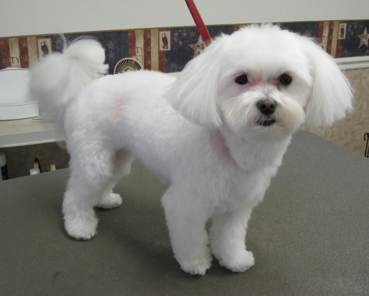 Maltese Dog Haircuts Yahoo Image Search Results Maltese Dogs