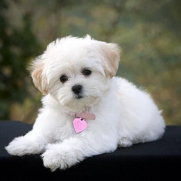 Pin By Crystal Gurule On Baby Animals Cute Small Dogs Cute Dogs Breeds Maltese Puppy