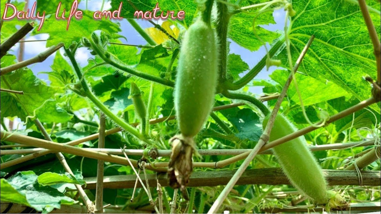 How To Grow Winter Melon | How To Grow Winter Melon from Seeds | Winter Melon Growing technology