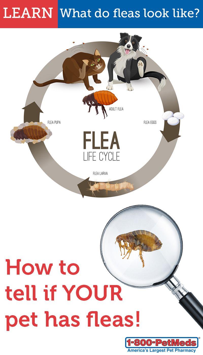 What Do Fleas Look Like 1800petmeds Fleas Your Pet Pet Health