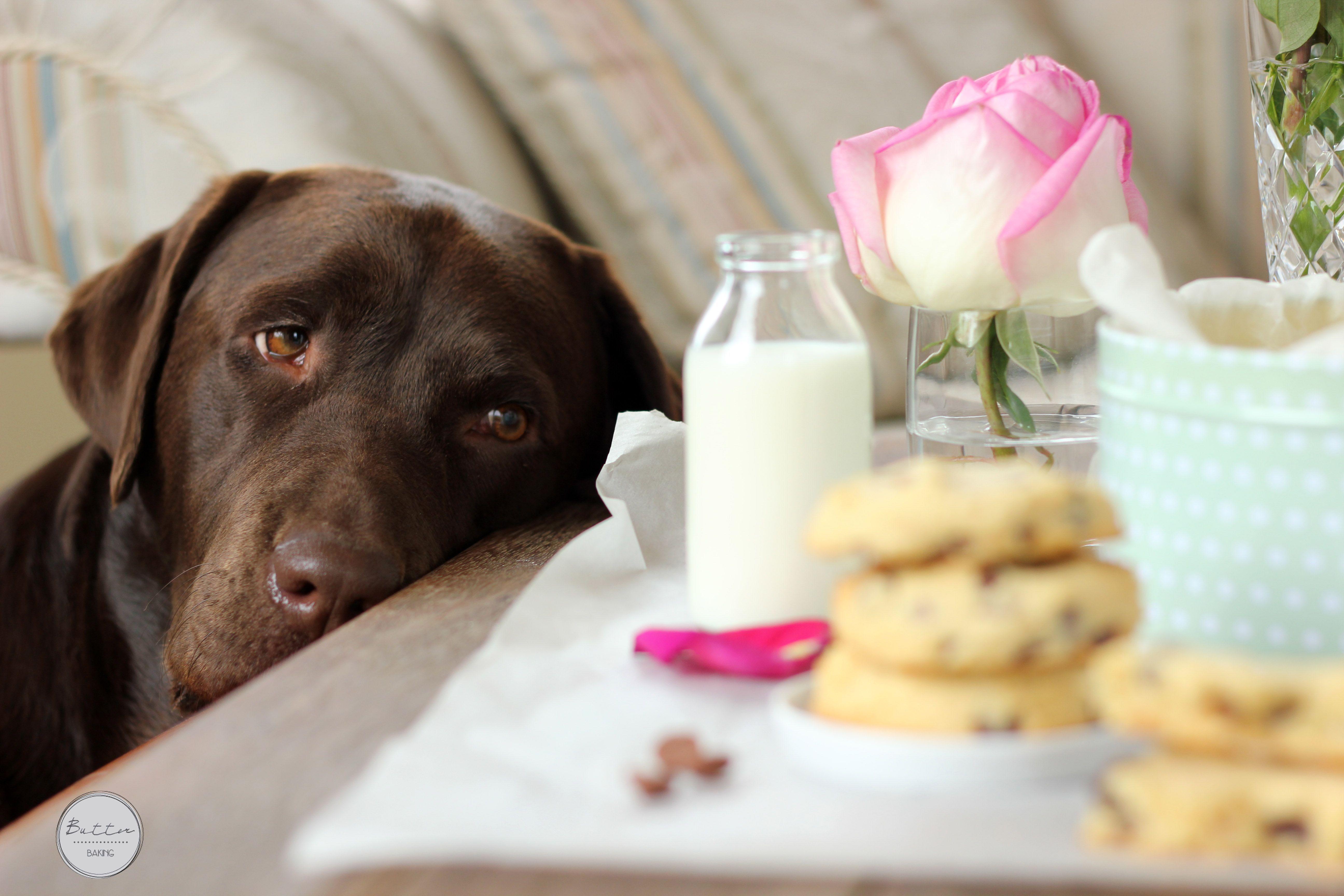 Chocolate labrador retriever pet photography dog