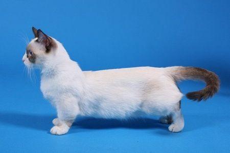 omg please give me a midget cat animals pinterest midget cat