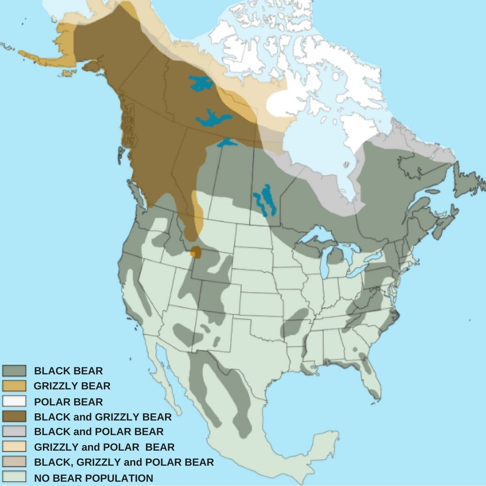 Black Bear Grizzly Bear Population And Distribution United States