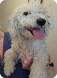 Poodle Standard Mix Dog For Adoption In Apple Valley California Jerri 161000 Kitten Adoption Pets Dog Adoption