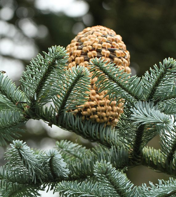 Types Of Fir Trees For Christmas: Types Of Christmas Trees, Pine