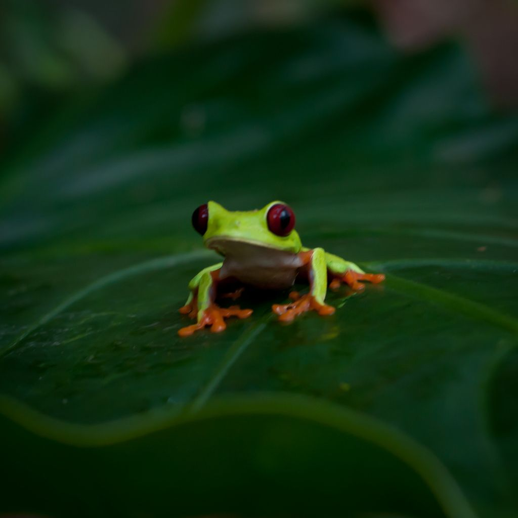Puerto Viejo, Costa Rica: This red eyed tree frog was hanging out at the Jaguar Rescue Center.