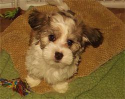 Pure Breed Havanese Available Puppies Chanhassen Mn Havanese Puppies Breeds
