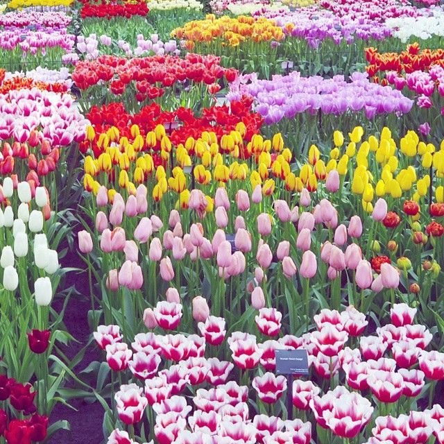 """588 Me gusta, 17 comentarios - Paige Taylor Evans (@paigetaylorevans) en Instagram: """"From our day at the #Keukenhof tulip festival in the Netherlands - all the pretty colors made my…"""""""