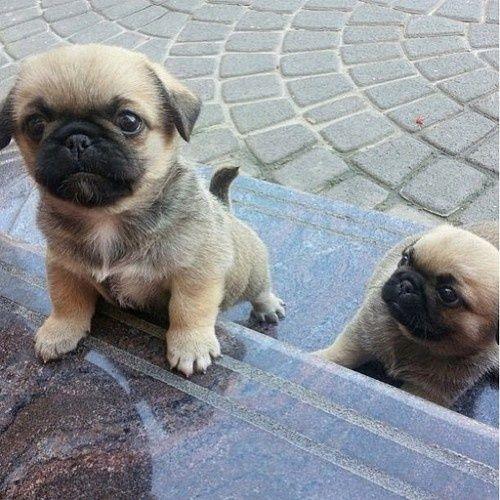 Follow My Tumblr Strippedtears Baby Pugs Cute Pug Puppies