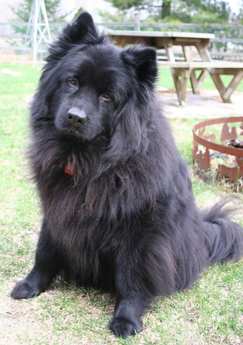 My Beautiful Oldest Eurasier Kaylee Spitz Type Dogs Eurasier