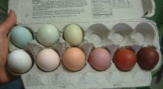 colors of eggs chickens lay from left to right: Ameraucana egg, Ameraucana egg, Easter Egger egg, Polish egg, Jersey Giant egg, Wyandotte egg, Marans egg, Marans egg, and Marans egg.