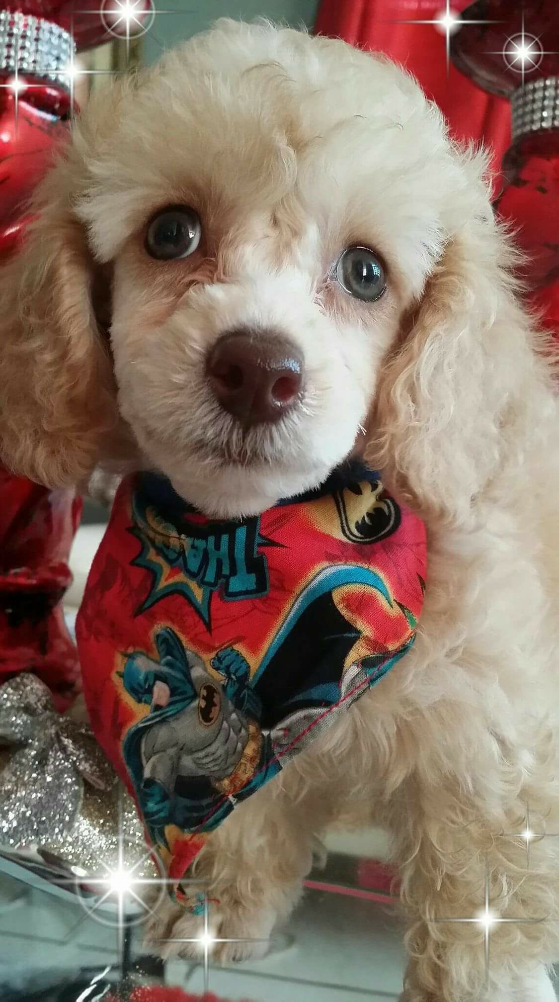 Pin By Patricia Hopkins On Poodles And Mixes Poodle Dog