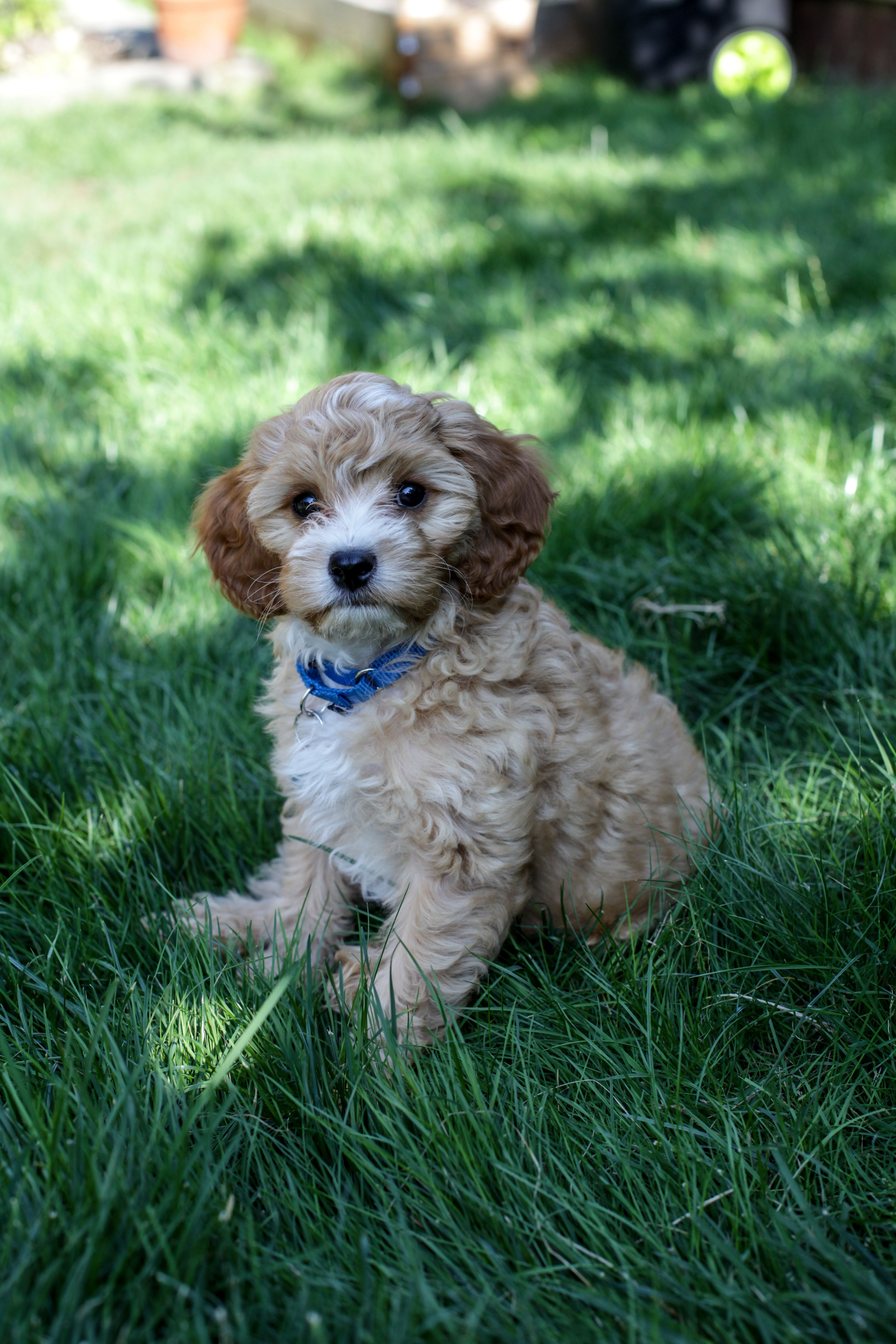 Whiskey The Cavapoo Puppy At 2 1 2 Months Old Ourdogwhiskey Cavapoo Puppies Cavapoo Puppies