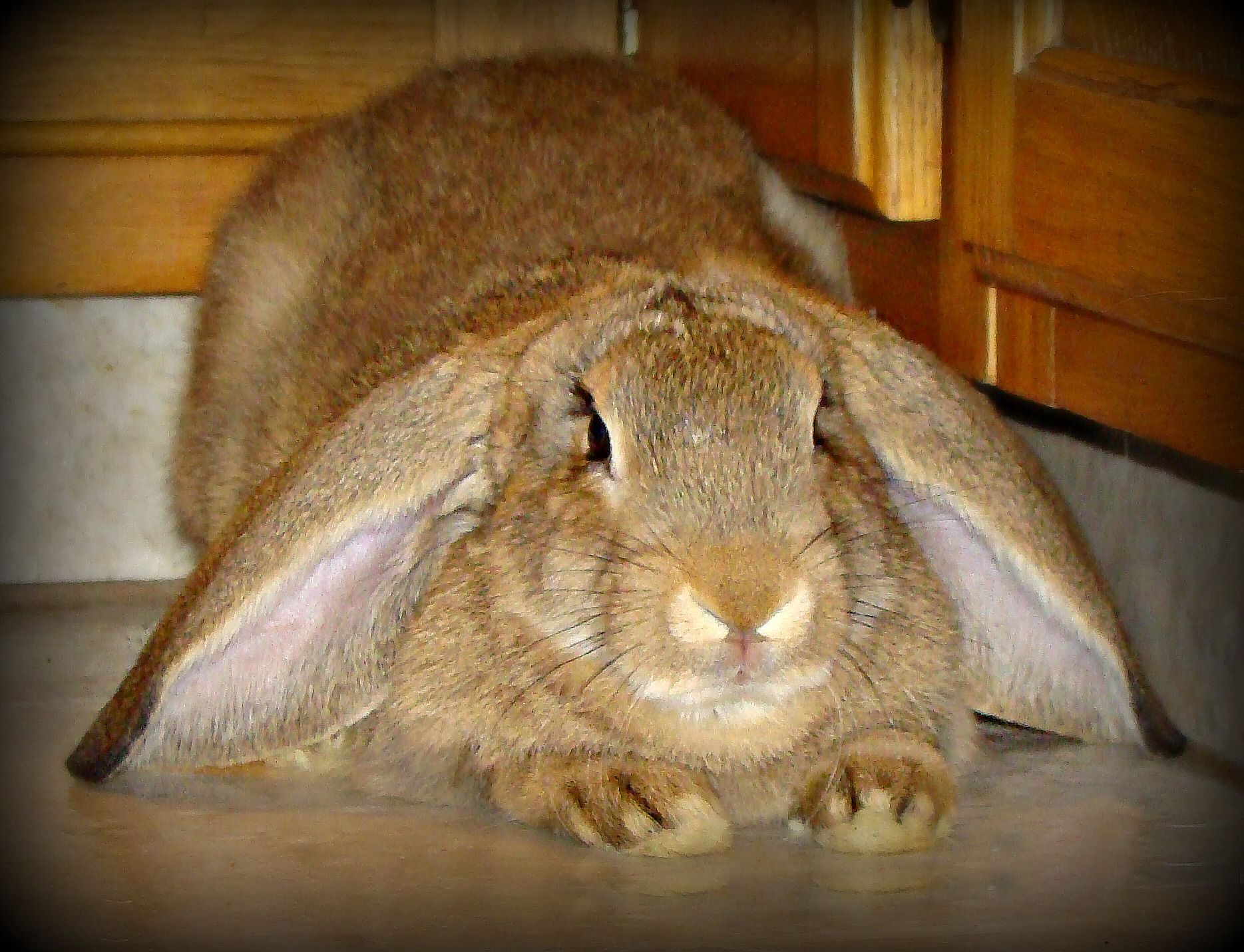 English Lop Flemish Giant Cross Marla Lop Eared Bunny