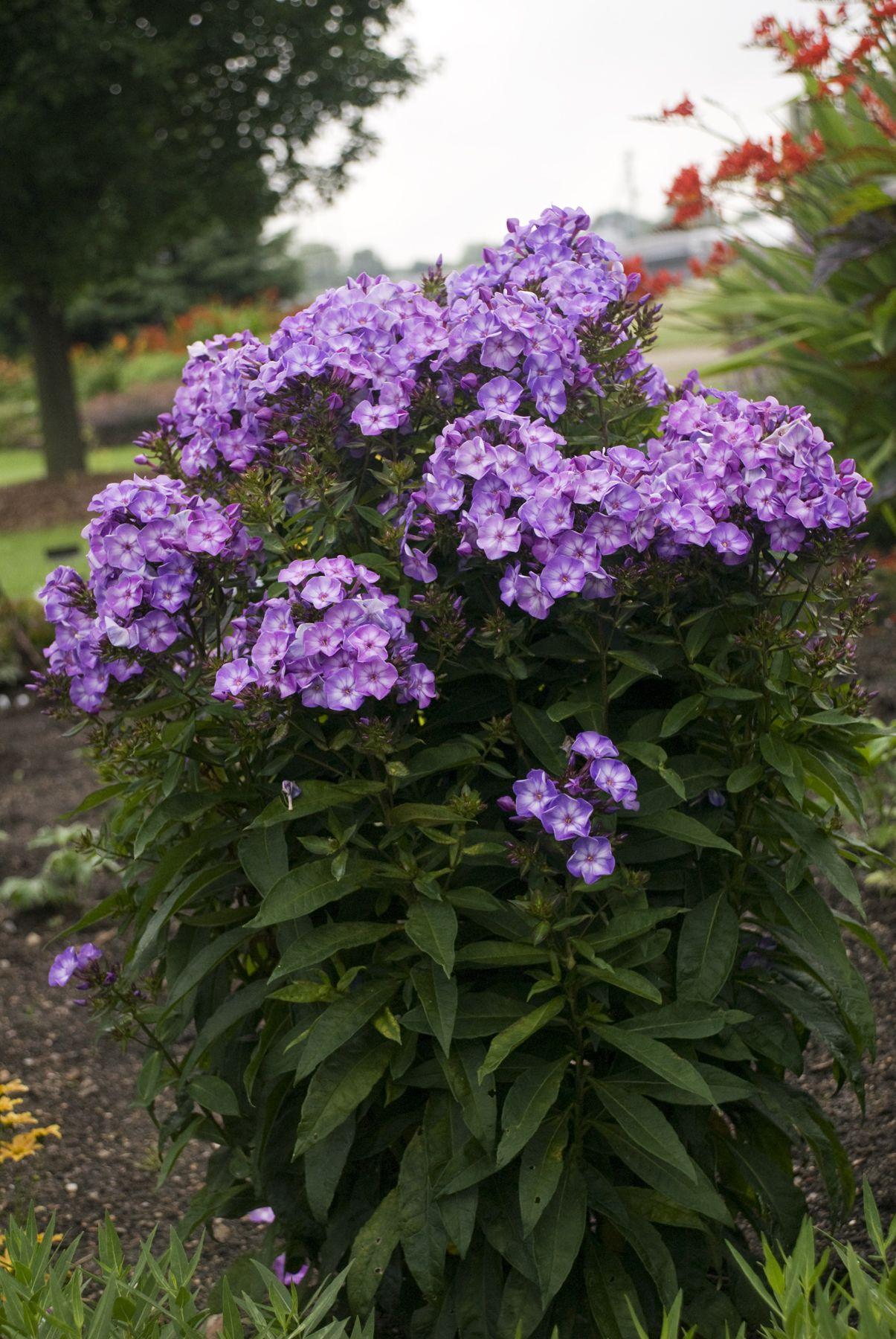 phlox pixie miracle grace blooms all summer zone 3 garden pinterest pixies gardening. Black Bedroom Furniture Sets. Home Design Ideas