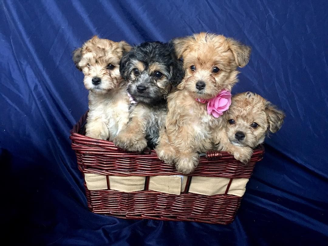 A Basket Of Yorkichon Puppies Bichon Frise Dogs Dog Gifts Puppies