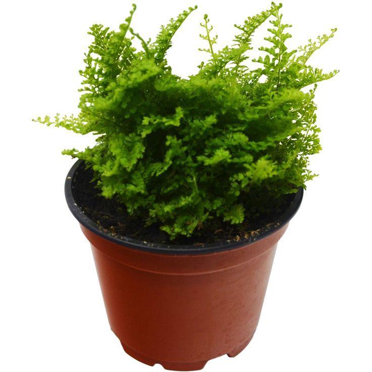 Cotton candy fern 4 pot live plant house plant