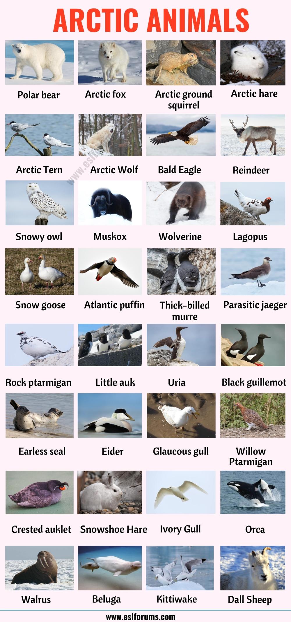 Arctic Animals List of 32 Animals that Live in the Arctic