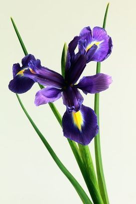 Best Way To Send Flowers To Your Relative By Buyflower We Should To Choose Best Company Who Is Able To Provide In Iris Flowers Birth Flowers Flowers