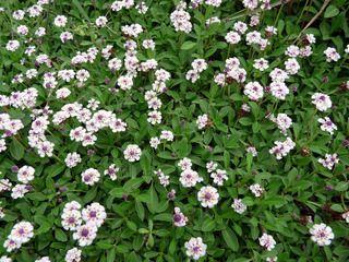 lippia nodiflora une petite nouvelle dans le jardin valsilve id es pour la maison. Black Bedroom Furniture Sets. Home Design Ideas