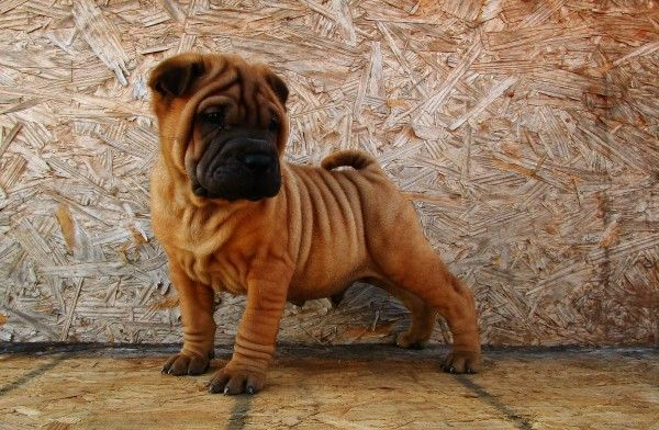 Fawn Shar Pei With A Black Mask Shar Pei Puppies Dog Mom Pets