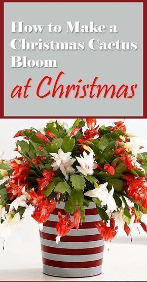 A Christmas cactus in full bloom creates a warm atmosphere during