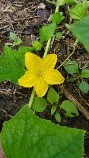 Flor de abobrinha