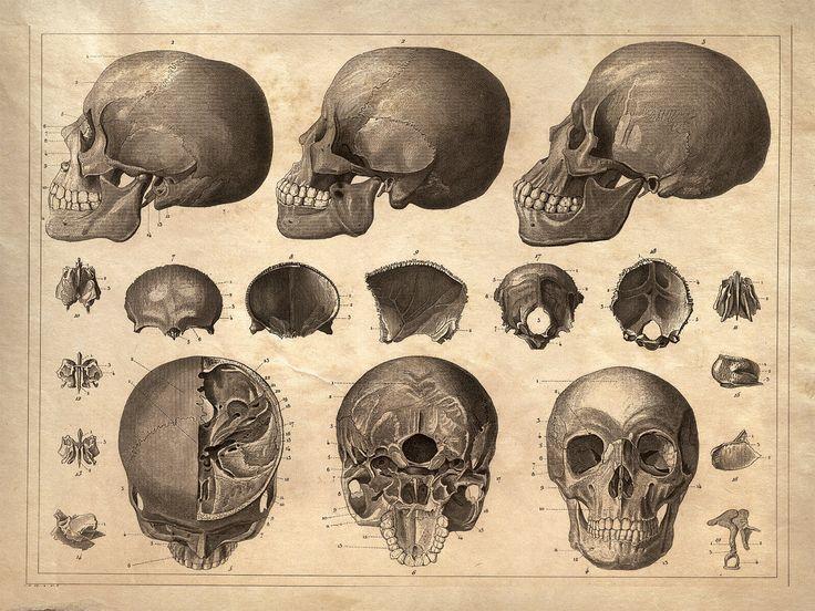 18x24 Vintage Anatomy Human Skull Poster 081 3000 Via Etsy