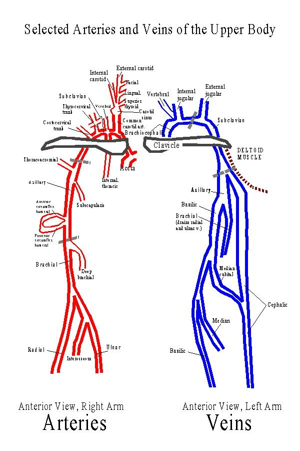 Kt Qu Hnh Nh Cho Upper Extremity Venous Anatomy Endovascular