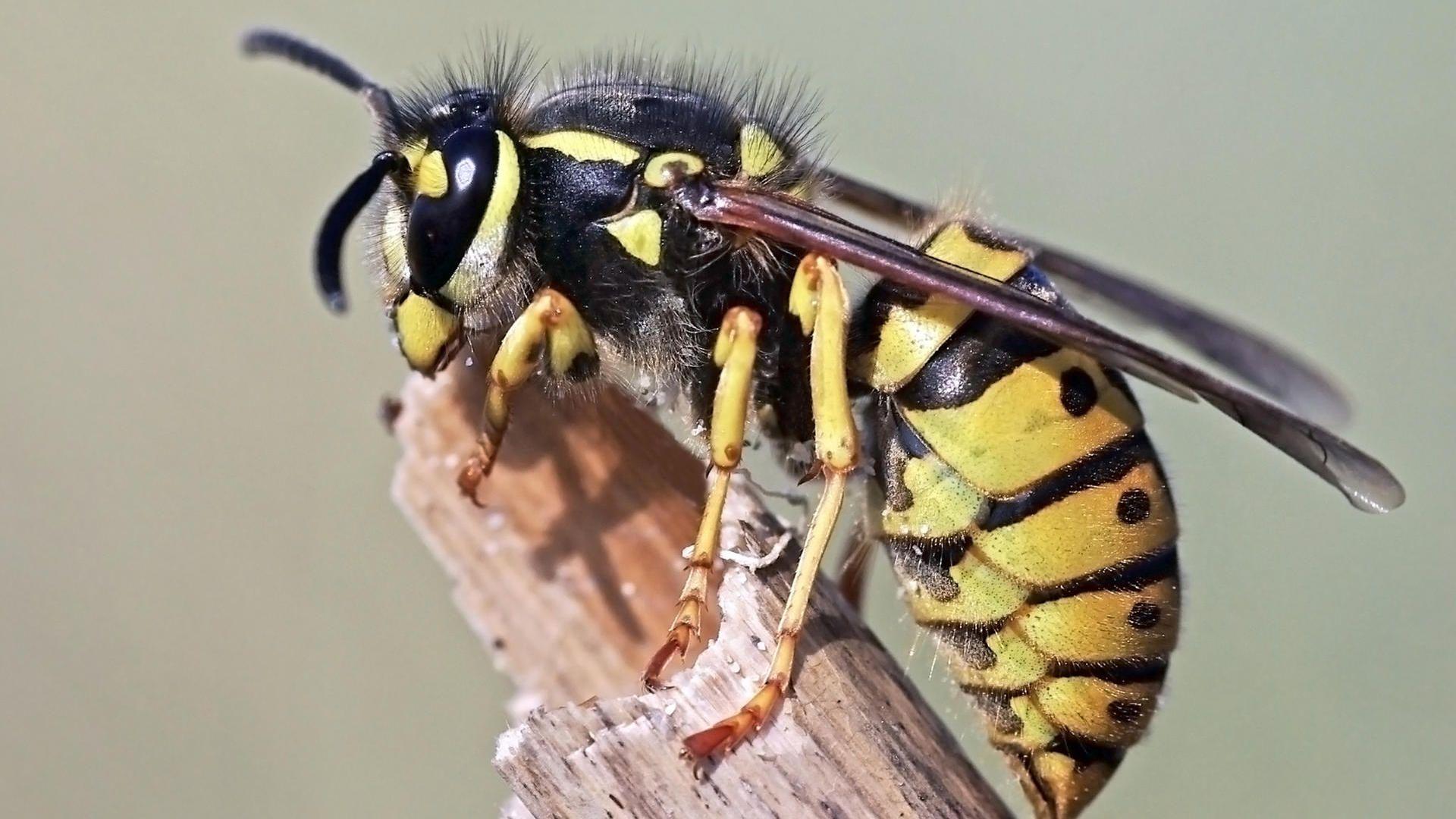 Warum Wespen Jetzt Besonders Aggressiv Sind Wespennest Wespe Wespen Vertreiben