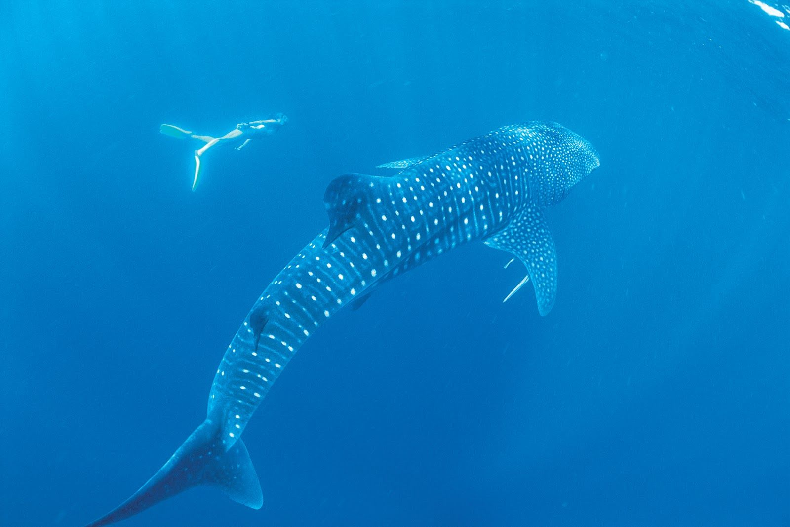 Snorkeling with whale shark in Tofo Bay Mozambique | MY ...