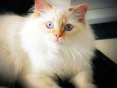 Flame Point Himalayan Crazy Cats Kittens Cutest Himalayan Cat