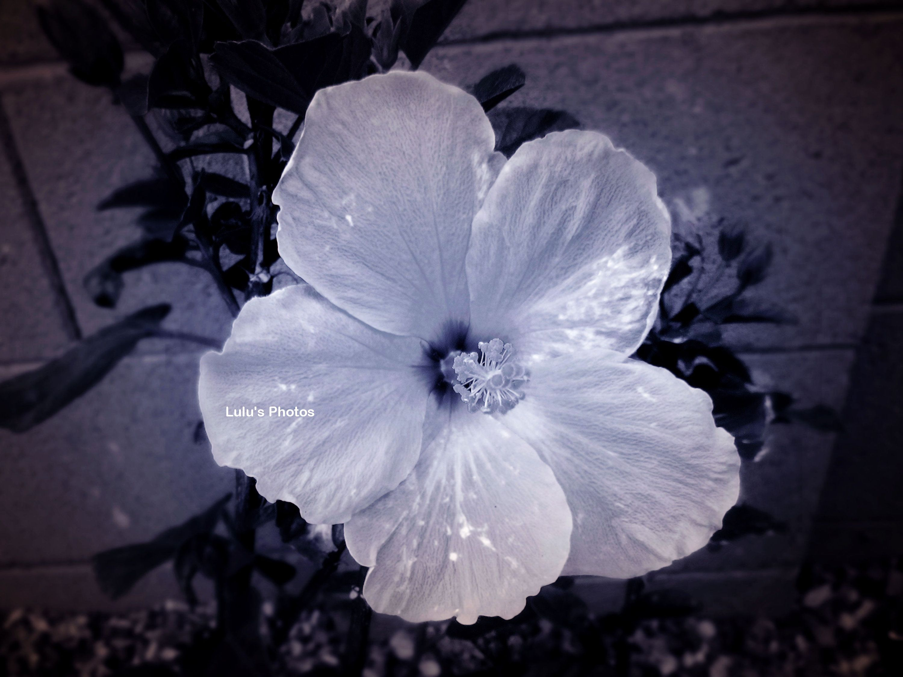 Black And White Hibiscus Flower Photography Prints And Etsy In 2020 Flowers Photography White Hibiscus Hibiscus