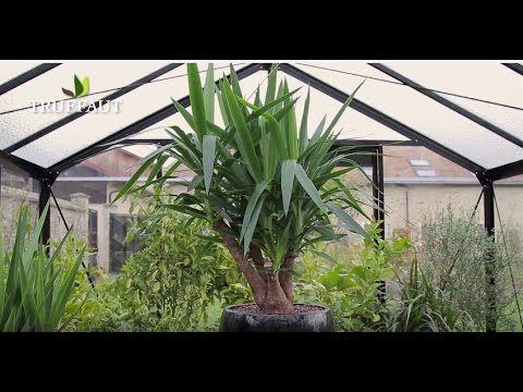 Yucca D Interieur Entretien Arrosage Rempotage Jardinerie Truffaut Tv Mes Plantes A Moi Entretien Jardinerie Truffaut Yucca Et Jardinerie