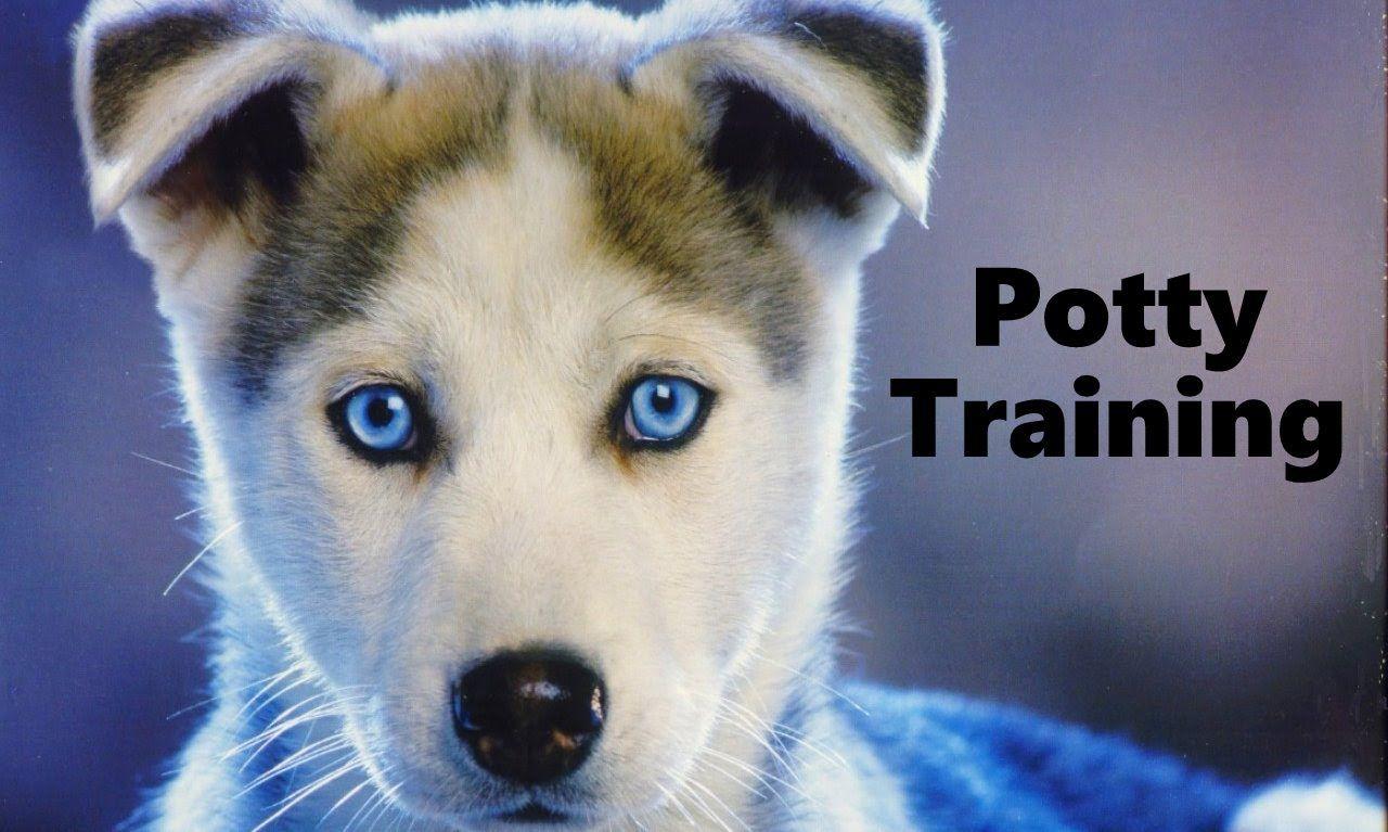 How To Potty Train A Siberian Husky Puppy Husky House Training