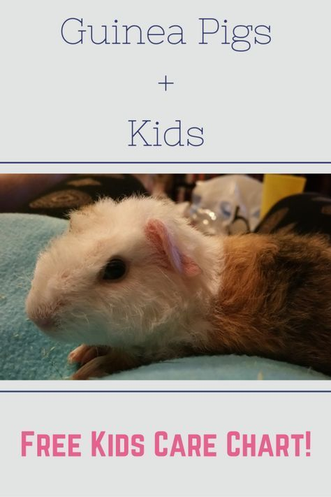 Pin on Guinea Pigs!!!
