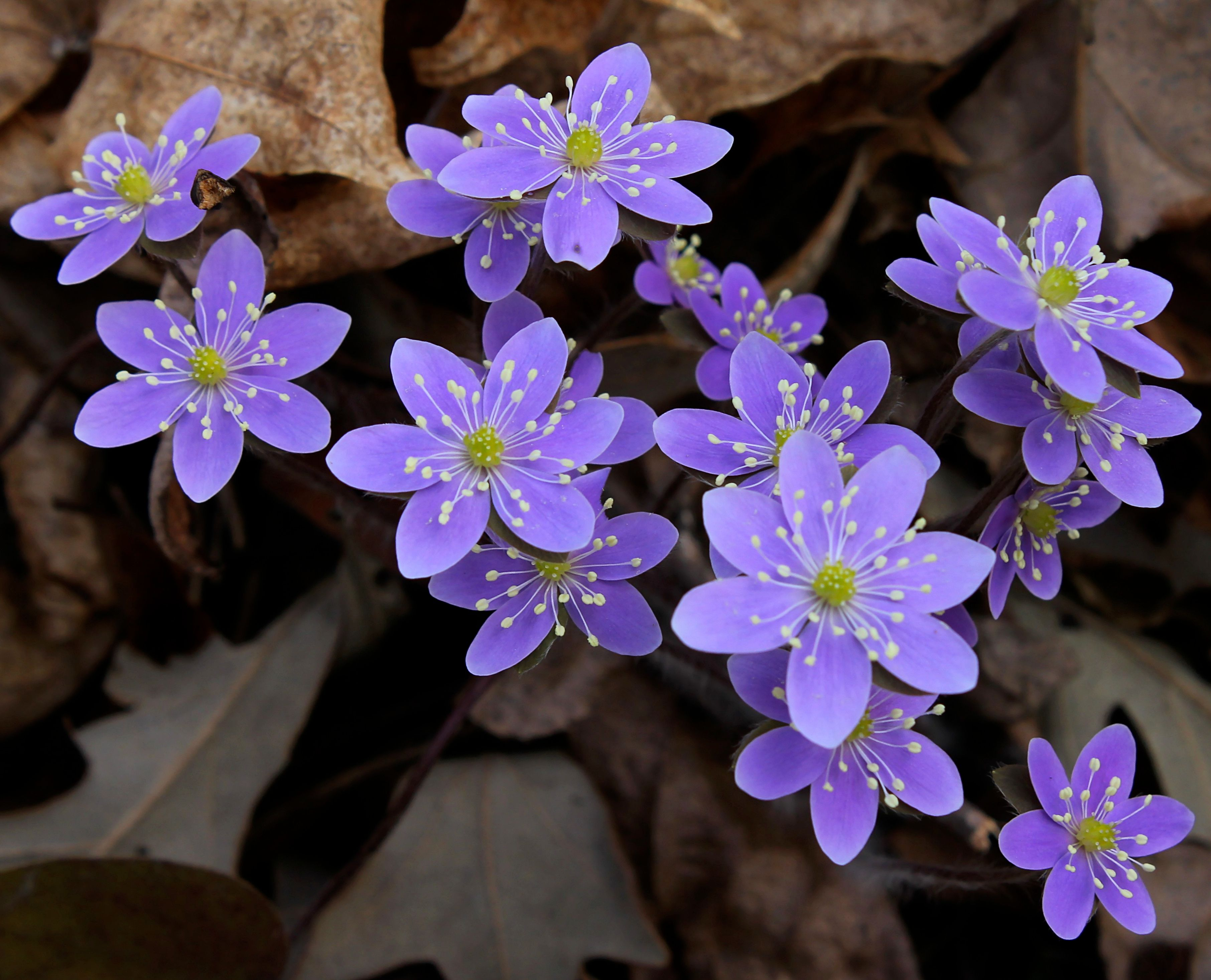 Anemone hepatica Hepatica nobilis Ranunculaceae Real