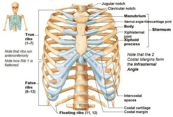 Important Things we need to know about Human Skeleton Sternum ...