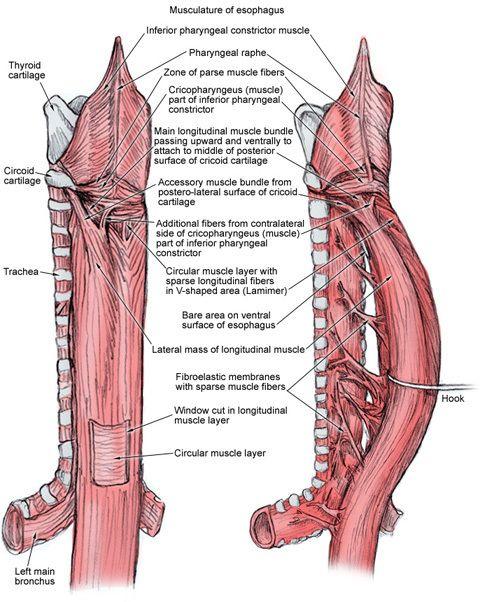relationship between pharynx and esophagus sphincter